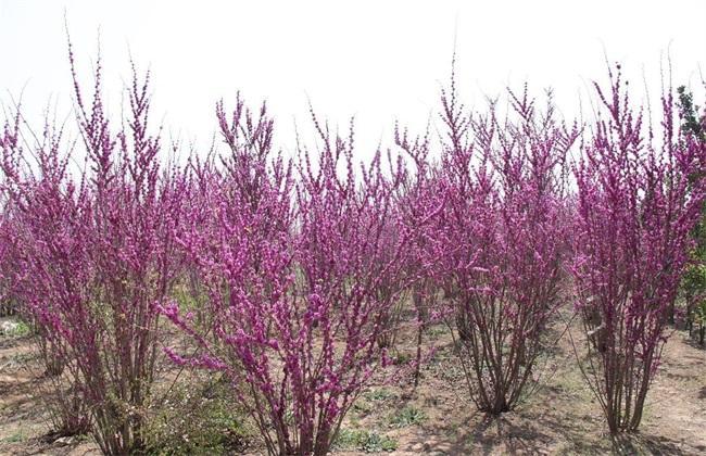 江蘇鹽城供應巨紫荊2-6公分