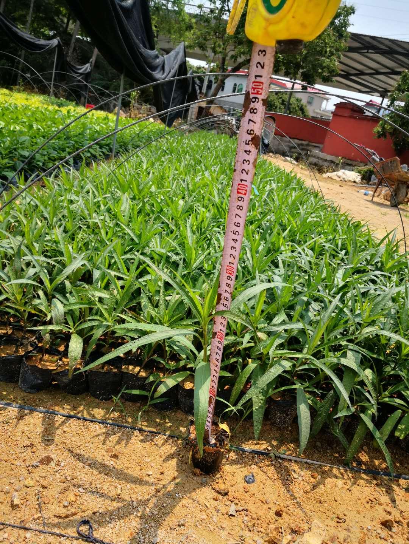 翠芦莉批发价格 翠芦莉种植基地