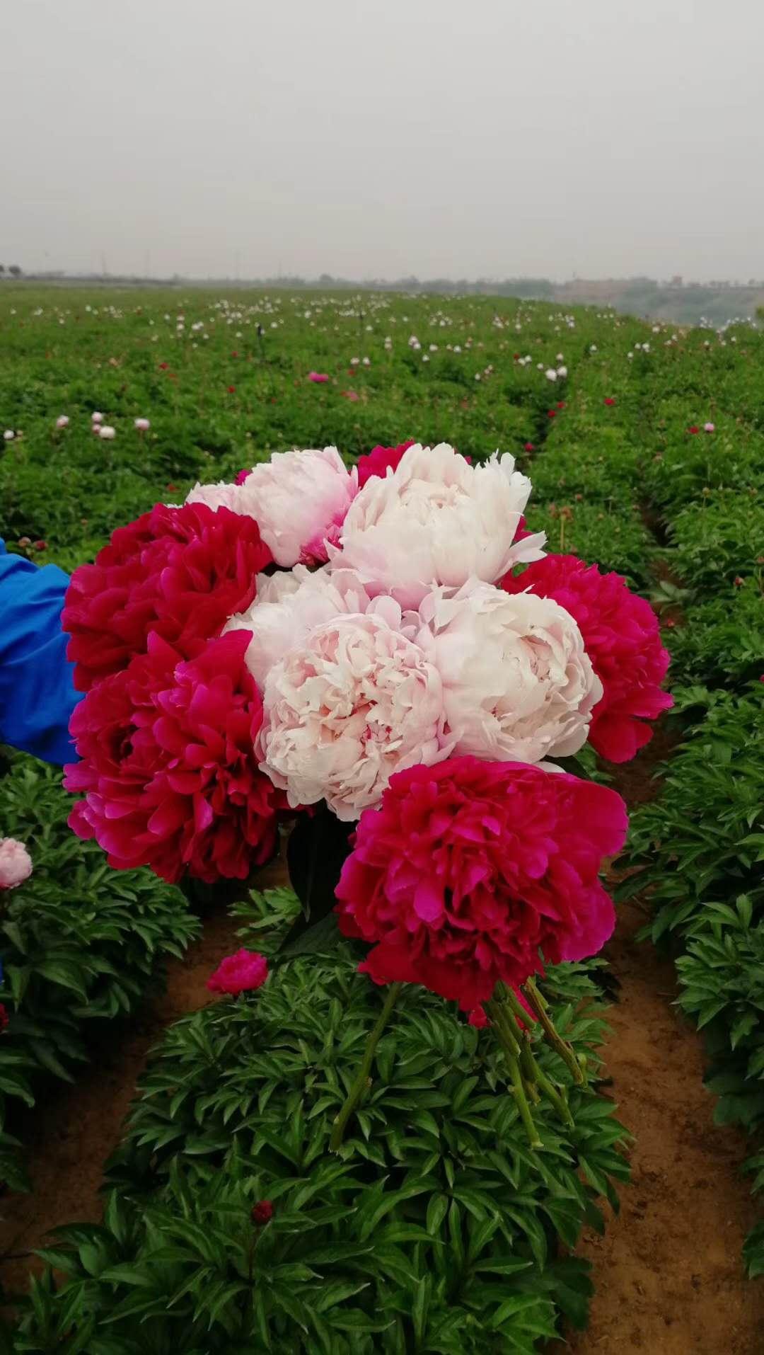 供应鲜花芍药、芍药鲜切花家庭装饰花卉