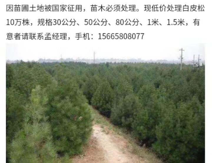 供应白皮松10万株(山东济南)