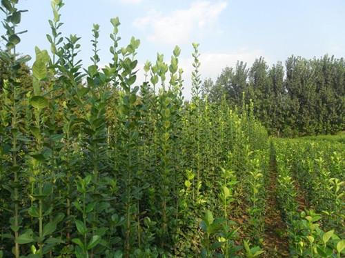 供应产地直销北海道黄杨2米-3米-4米-5米-丛生
