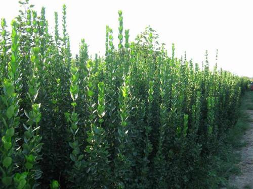 供应北海道黄杨-量大优惠1米-2.5米3米3.5米