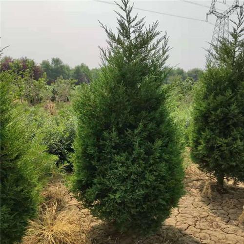 供应    蜀侩60公分蜀侩树形饱满1米-2米-3