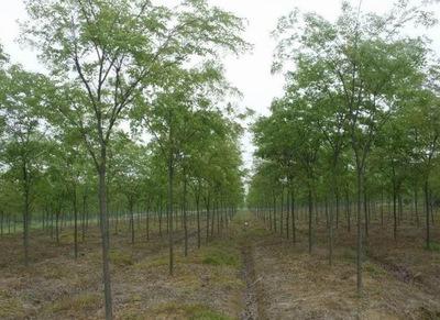 基地供应绿化工程红榉树