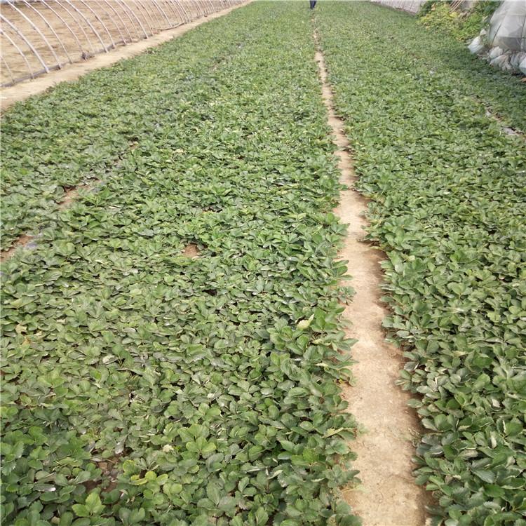 供应法兰地草莓苗 法兰地草莓苗栽培技术