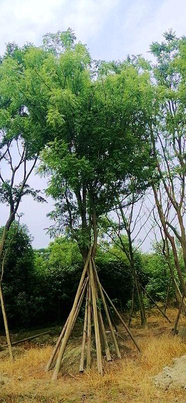 四川单杆黄连木-黄连木园林-黄连木报价-成都苗