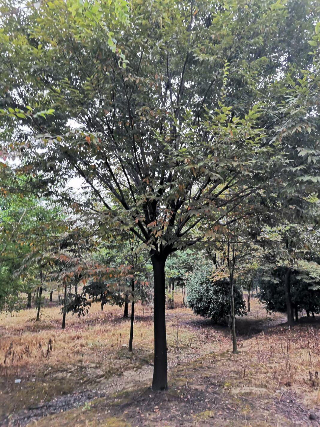提供南京榉树20公分以上的规格价格批发