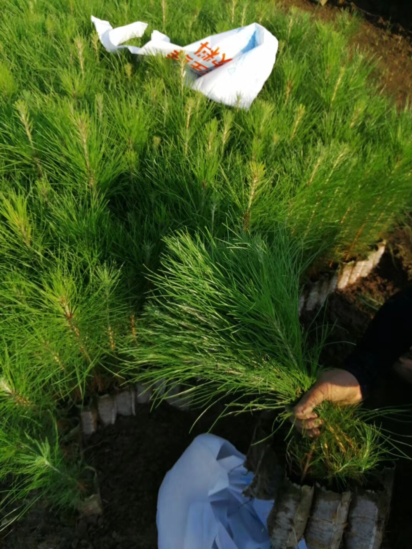 江西求购湿地松苗,一年生湿地松小苗30高一20