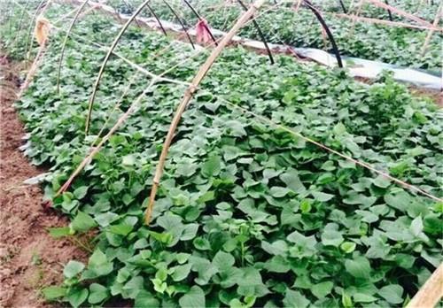河南红薯苗种植基地