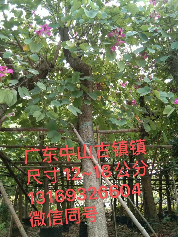 供應紅花紫荊樹苗位于中山古鎮