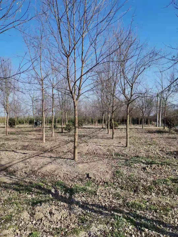 提供三角枫南京三角枫苗圃今年价位是多少