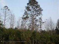 马褂木苗木江西马褂木生产基地
