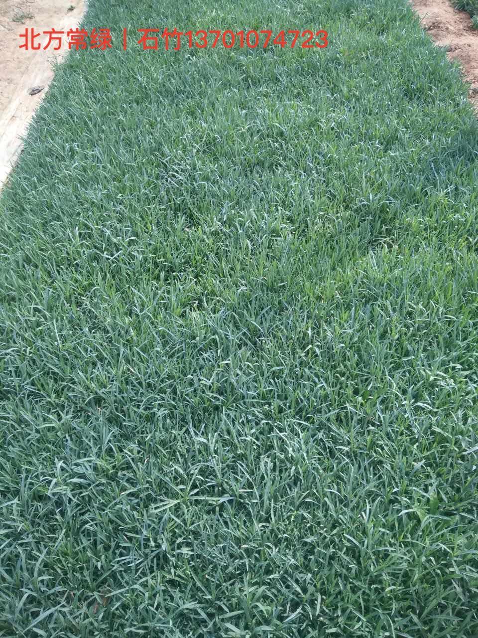 石竹营养杯苗基地价格咨询北方常绿