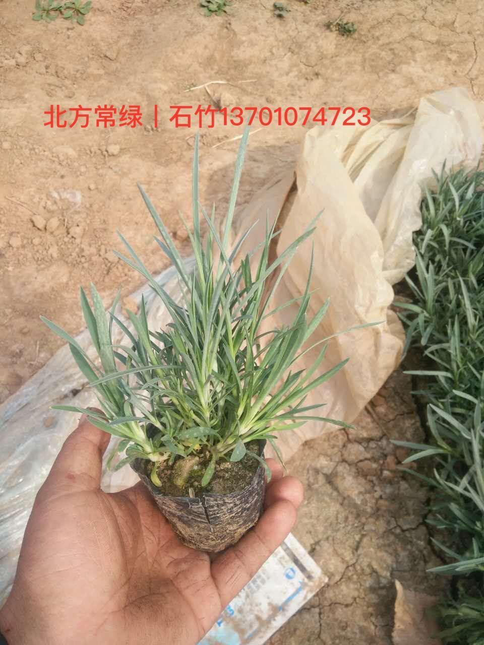 石竹厂家价格大量优惠