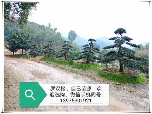 供应湖南造型罗汉松-罗汉松造型苗木-精品树形上宏景