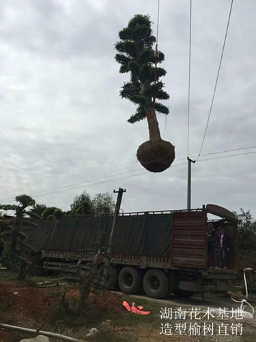 供应造型榆树苗木-湖南造型榆树优惠直销-便宜好苗找