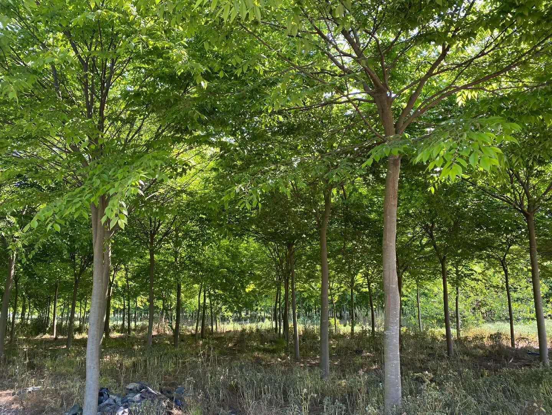 提供栾树山东栾树价格发财树价位是多少