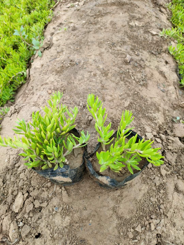 垂盆草价格优惠基地直供就近发货