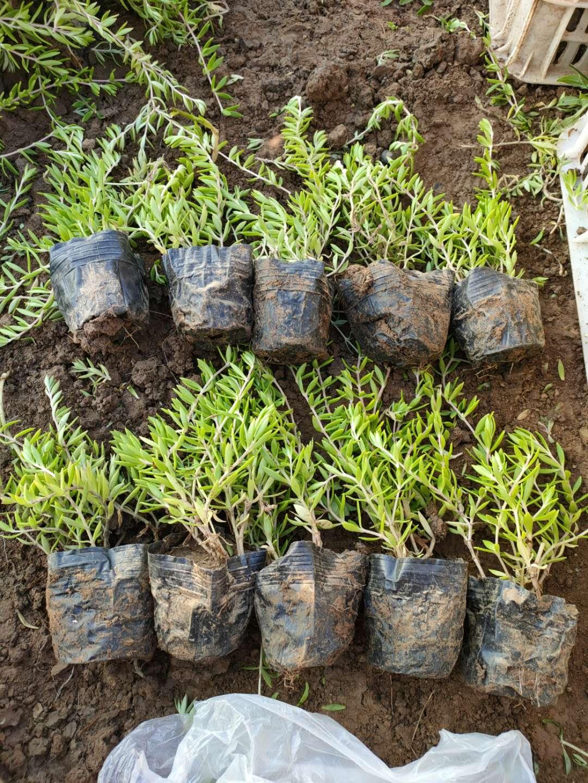北方常绿草坪基地供应垂盆草价格-垂盆草小苗批发报价