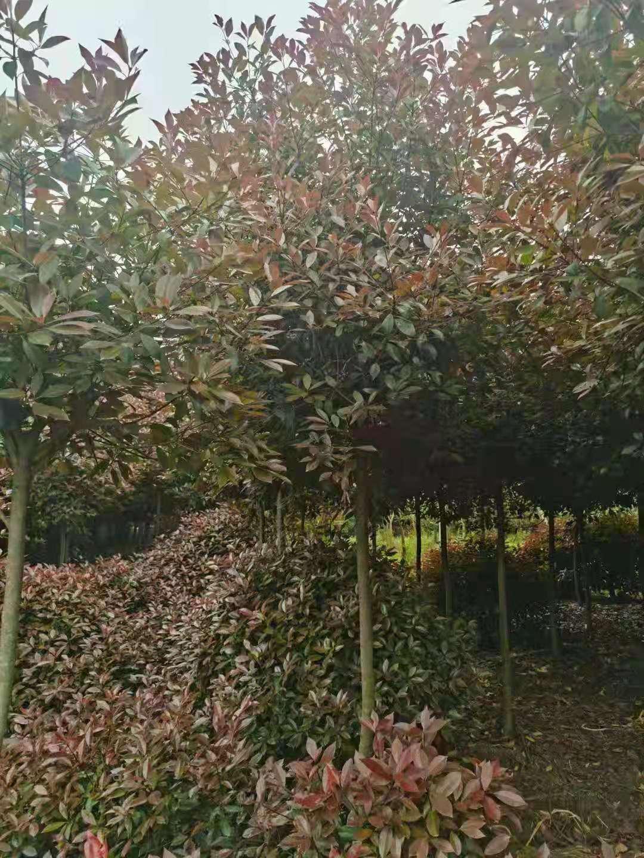 供应山东红叶石楠树7公分红叶石楠在产地价位是多少