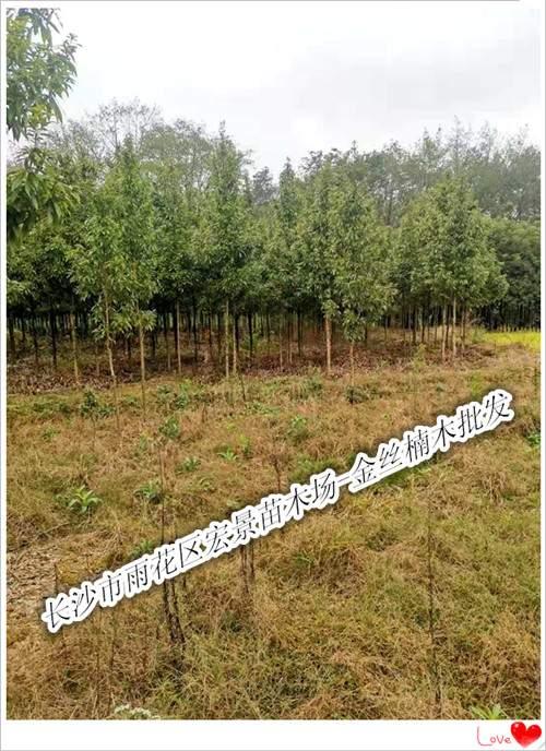 供应买金丝楠木苗子-湖南金丝楠木-浏阳金丝楠木就来