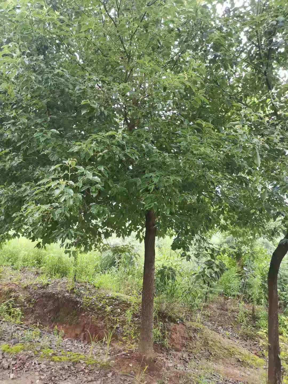提供香樟南京香樟树苗圃20公分价格是多少