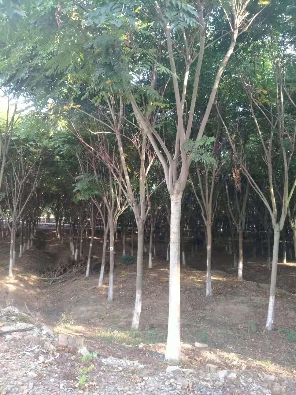 提供南京12公分栾树苗圃12公分栾树价格是多少