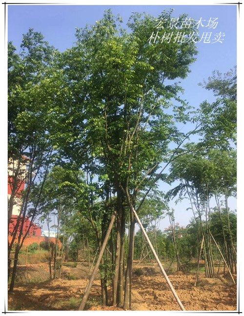 供应全冠朴树苗木-湖南丛生朴树-朴树价格低树形优美
