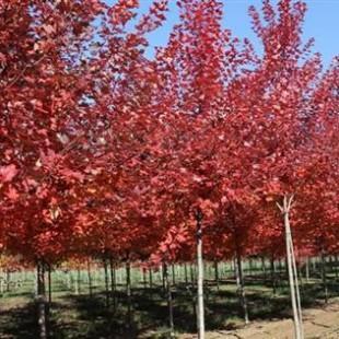供应米径8-12公分红枫