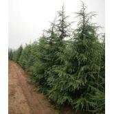 提供雪松籽播雪松产地3米现在什么价钱