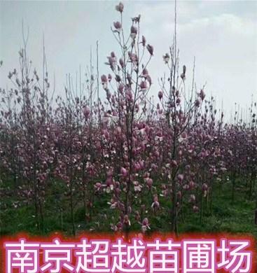 提供红玉兰树-南京红玉兰树木价格