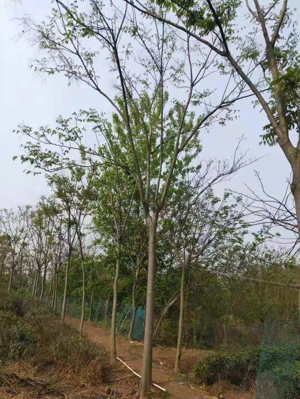 提供栾树-栾树苗圃大栾树20公分价格如何了